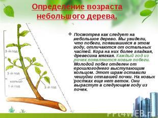 Определение возраста небольшого дерева. Посмотрев как следует на небольшое дерев