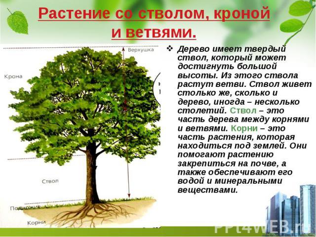Растение со стволом, кроной и ветвями. Дерево имеет твердый ствол, который может достигнуть большой высоты. Из этого ствола растут ветви. Ствол живет столько же, сколько и дерево, иногда – несколько столетий. Ствол – это часть дерева между корнями и…