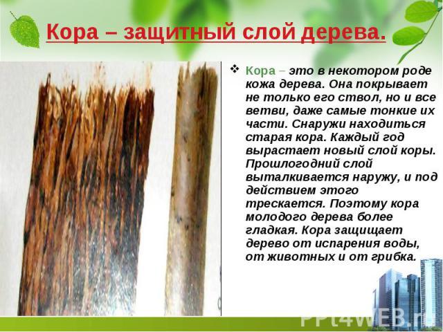 Кора – защитный слой дерева. Кора – это в некотором роде кожа дерева. Она покрывает не только его ствол, но и все ветви, даже самые тонкие их части. Снаружи находиться старая кора. Каждый год вырастает новый слой коры. Прошлогодний слой выталкиваетс…