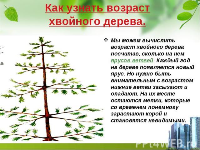 Как узнать возраст хвойного дерева. Мы можем вычислить возраст хвойного дерева посчитав, сколько на нем ярусов ветвей. Каждый год на дереве появляется новый ярус. Но нужно быть внимательным с возрастом нижние ветви засыхают и опадают. На их месте ос…