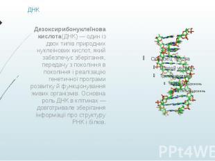 ДНК Дезоксирибонуклеїнова кислота(ДНК)— один із двох типів природних нукле