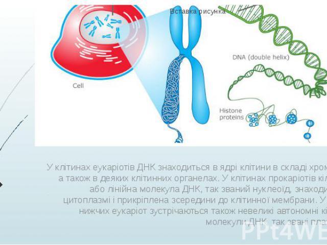 У клітинах еукаріотів ДНК знаходиться в ядрі клітини в складі хромосом, а також в деяких клітинних органелах. У клітинах прокаріотів кільцева або лінійна молекула ДНК, так званий нуклеоїд, знаходиться в цитоплазмі і прикріплена зсередини до клітинно…