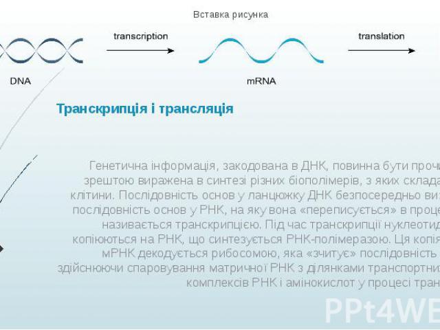 Транскрипція і трансляція Генетична інформація, закодована в ДНК, повинна бути прочитана і зрештою виражена в синтезі різних біополімерів, з яких складаються клітини. Послідовність основ у ланцюжку ДНК безпосередньо визначає послідовність основ у РН…