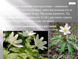 Главная 4. Латинское название этого растения - «анемона» связано с тем, что его