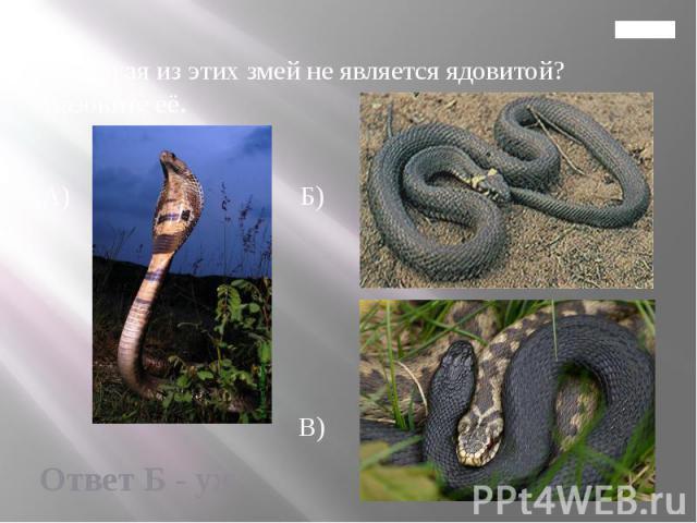 Главная 12. Какая из этих змей не является ядовитой? Назовите её. А) Б) В)
