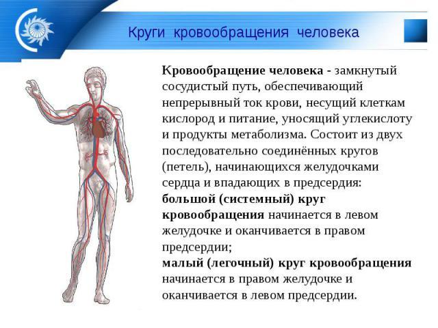 Круги кровообращения человека