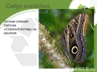 Caligo euriochus