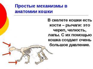 Простые механизмы в анатомии кошки В скелете кошки есть кости – рычаги: это чере