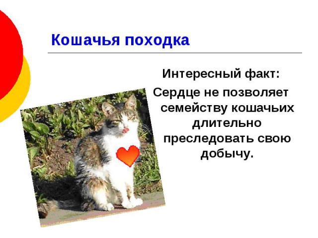 Кошачья походка Интересный факт: Сердце не позволяет семейству кошачьих длительно преследовать свою добычу.