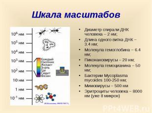 Шкала масштабов Диаметр спирали ДНК человека – 2 нм; Длина одного витка ДНК – 3.