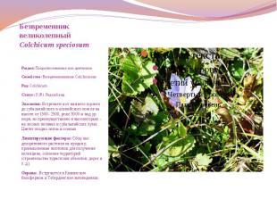 Безвременник великолепный Colchicum speciosum  Раз