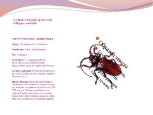 ЗУБЧАТОГРУДЫЙ ДРОВОСЕК Callipogon serricollis ЧЛЕНИСТОНОГИЕ – ARTHROPODA Отряд: