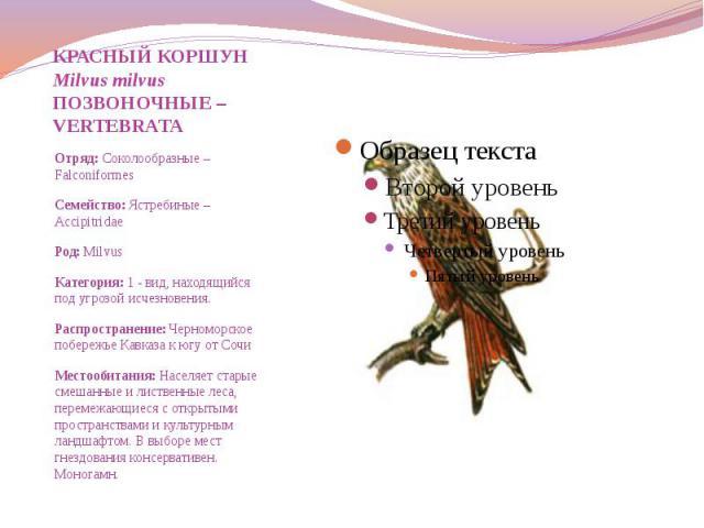 КРАСНЫЙ КОРШУН Milvus milvus ПОЗВОНОЧНЫЕ – VERTEBRATA Отряд: Соколообразные – Falconiformes Семейство: Ястребиные – Accipitridae Род: Milvus Категория: 1 - вид, находящийся под угрозой исчезновения. Распространение: Черноморское побережье Кавказа к …