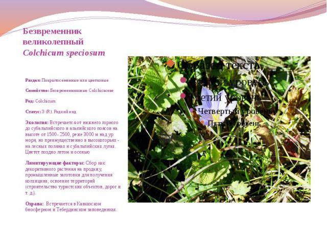 Безвременник великолепный Colchicum speciosum  Раздел: Покрытосеменные или цветковые Семейство: Безвременниковые Colchicaceae Род: Colchicum Статус: 3 (R). Редкий вид Экология: Встречается от нижнего горного до субальпи…