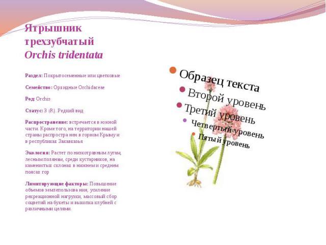 Ятрышник трехзубчатый Orchis tridentata  Раздел: Покрытосеменные или цветковые Семейство: Орхидные Orchidaceae Род: Orchis Статус: 3 (R). Редкий вид Распространение: встречается в южной части. Кроме того, на территории …