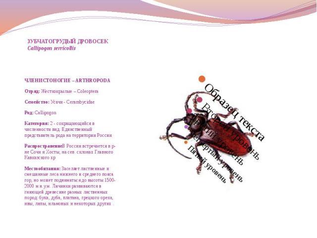 ЗУБЧАТОГРУДЫЙ ДРОВОСЕК Callipogon serricollis ЧЛЕНИСТОНОГИЕ – ARTHROPODA Отряд: Жесткокрылые – Coleoptera Семейство: Усачи - Cerambycidae Род: Callipogon Категория: 2 - cокращающийся в численности вид. Единственный представитель рода на территории Р…