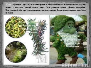Мох – сфагнум – один из самых интересных обитателей болот. Растение весом 10 гра