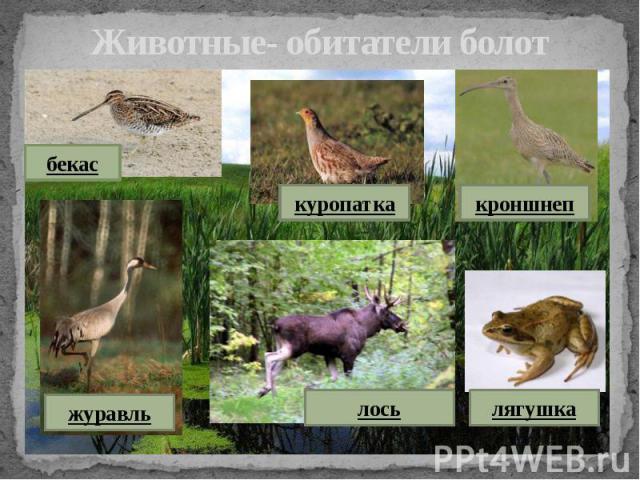 Животные- обитатели болот