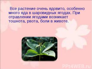 Все растение очень ядовито, особенно много яда в шаровидных ягодах. При о
