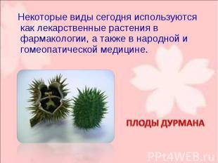 Некоторые виды сегодня используются как лекарственные растения в фармакологии, а