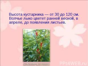 Высота кустарника — от 30 до 120 см. Волчье лыко цветет ранней весной, в апреле,