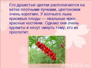 Его душистые цветки располагаются на ветке плотными пучками, цветоножки очень ко