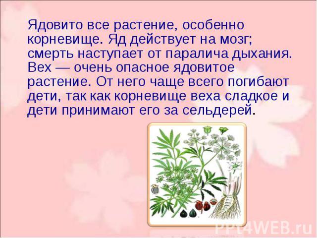 Ядовито все растение, особенно корневище. Яд действует на мозг; смерть наступает от паралича дыхания. Вех — очень опасное ядовитое растение. От него чаще всего погибают дети, так как корневище веха сладкое и дети принимают его за сельдерей. Ядовито …