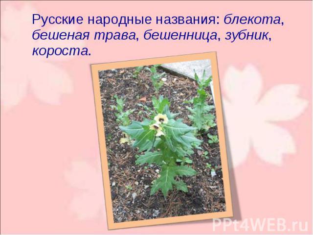 Русские народные названия: блекота, бешеная трава, бешенница, зубник, короста. Русские народные названия: блекота, бешеная трава, бешенница, зубник, короста.