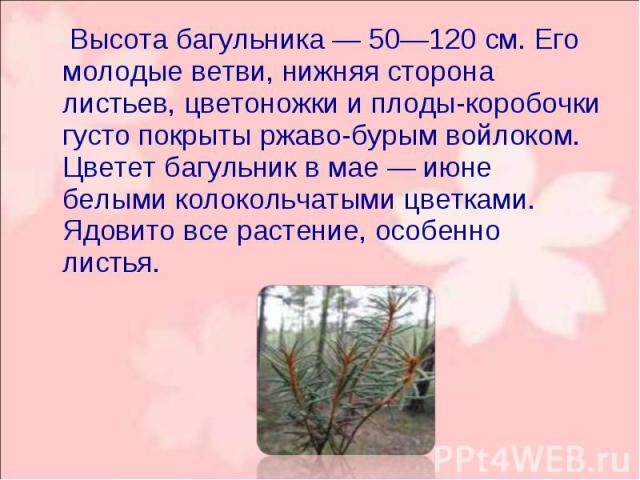 Высота багульника — 50—120 см. Его молодые ветви, нижняя сторона листьев, цветоножки и плоды-коробочки густо покрыты ржаво-бурым войлоком. Цветет багульник в мае — июне белыми колокольчатыми цветками. Ядовито все растение, особенно листья. Высота ба…