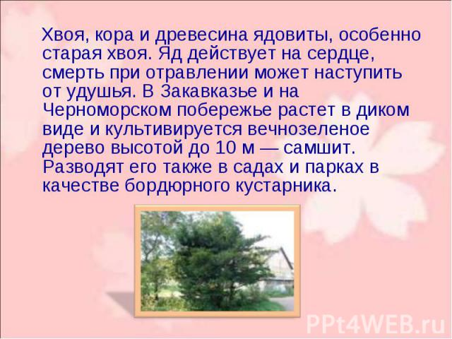 Хвоя, кора и древесина ядовиты, особенно старая хвоя. Яд действует на сердце, смерть при отравлении может наступить от удушья. В Закавказье и на Черноморском побережье растет в диком виде и культивируется вечнозеленое дерево высотой до 10 м — самшит…
