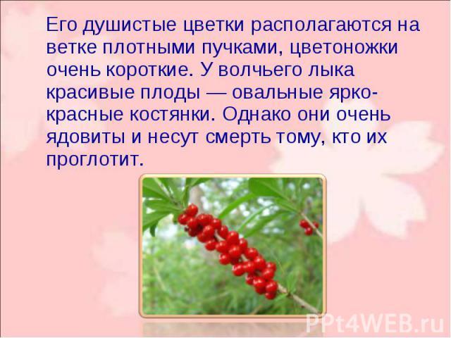 Его душистые цветки располагаются на ветке плотными пучками, цветоножки очень короткие. У волчьего лыка красивые плоды — овальные ярко-красные костянки. Однако они очень ядовиты и несут смерть тому, кто их проглотит. Его душистые цветки располагаютс…
