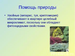 Хвойные (кипарис, туя, криптомерия) обеспечивают в квартире целебный микроклимат