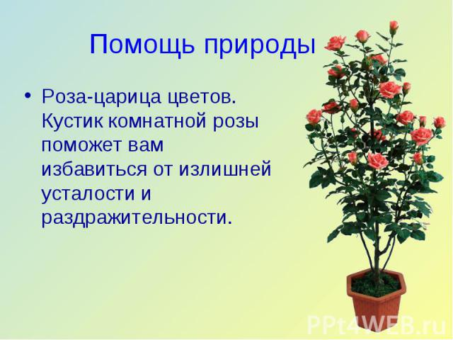 Роза-царица цветов. Кустик комнатной розы поможет вам избавиться от излишней усталости и раздражительности. Роза-царица цветов. Кустик комнатной розы поможет вам избавиться от излишней усталости и раздражительности.