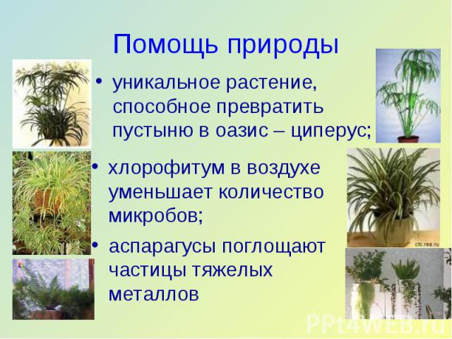 уникальное растение, способное превратить пустыню в оазис – циперус; уникальное растение, способное превратить пустыню в оазис – циперус;
