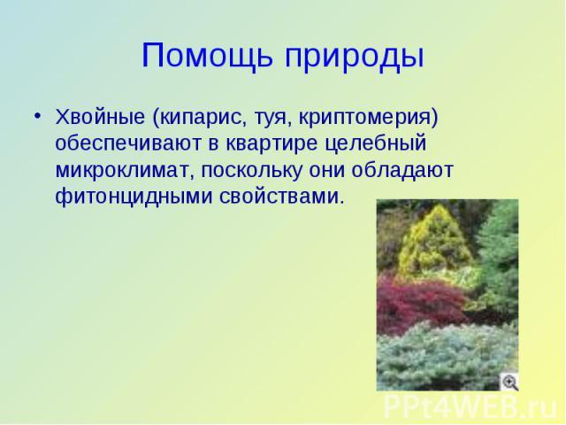 Хвойные (кипарис, туя, криптомерия) обеспечивают в квартире целебный микроклимат, поскольку они обладают фитонцидными свойствами. Хвойные (кипарис, туя, криптомерия) обеспечивают в квартире целебный микроклимат, поскольку они обладают фитонцидными с…