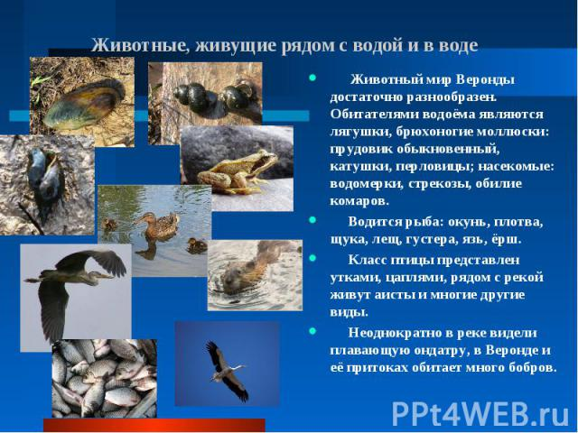 Животный мир Веронды достаточно разнообразен. Обитателями водоёма являются лягушки, брюхоногие моллюски: прудовик обыкновенный, катушки, перловицы; насекомые: водомерки, стрекозы, обилие комаров. Животный мир Веронды достаточно разнообразен. Обитате…