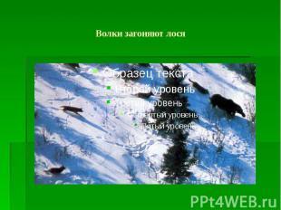 Волки загоняют лося