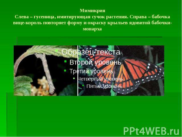 Мимикрия Слева – гусеница, имитирующая сучок растения. Справа – бабочка вице-король повторяет форму и окраску крыльев ядовитой бабочки-монарха