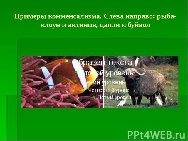 Примеры комменсализма. Слева направо: рыба-клоун и актиния, цапли и буйвол