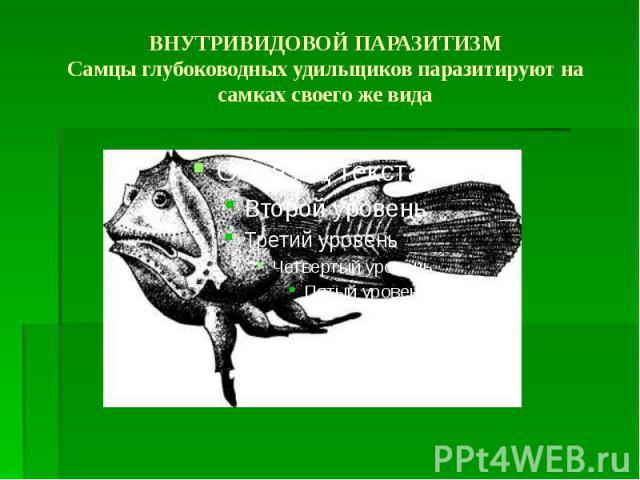 ВНУТРИВИДОВОЙ ПАРАЗИТИЗМ Самцы глубоководных удильщиков паразитируют на самках своего же вида