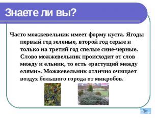 Знаете ли вы? Часто можжевельник имеет форму куста. Ягоды первый год зеленые, вт
