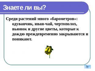 Знаете ли вы? Среди растений много «барометров»: одуванчик, иван-чай, чертополох
