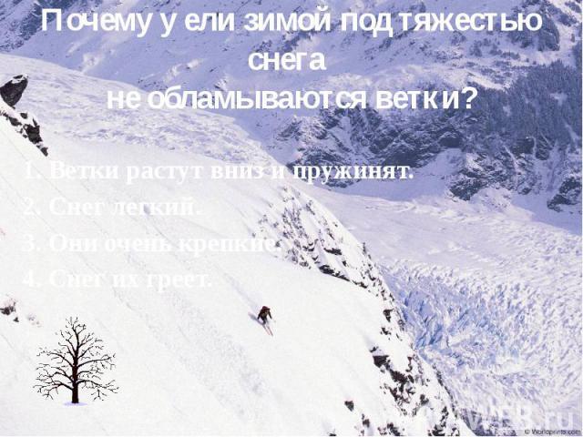 Почему у ели зимой под тяжестью снега не обламываются ветки? 1. Ветки растут вниз и пружинят. 2. Снег легкий. 3. Они очень крепкие. 4. Снег их греет.