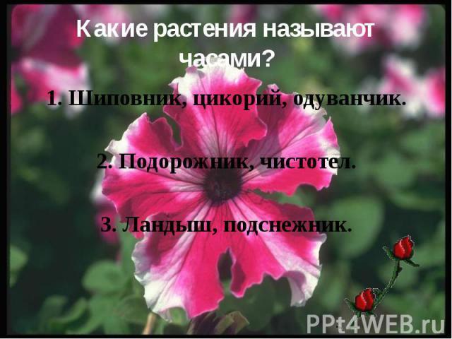 Какие растения называют часами? 1. Шиповник, цикорий, одуванчик. 2. Подорожник, чистотел. 3. Ландыш, подснежник.