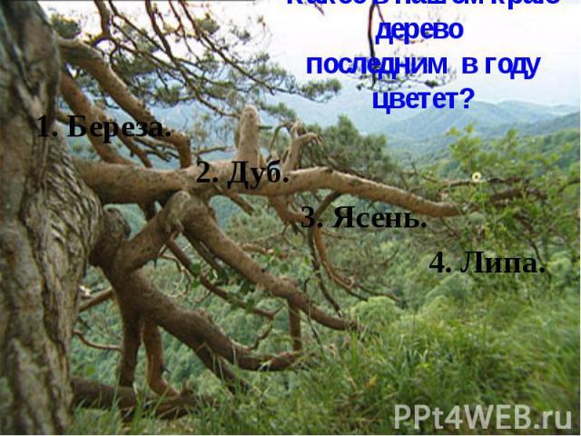 Какое в нашем краю дерево последним в году цветет? 1. Береза. 2. Дуб. 3. Ясень. 4. Липа.