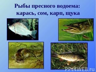 Рыбы пресного водоема: карась, сом, карп, щука