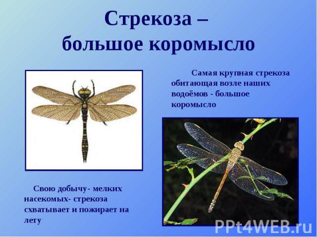 Стрекоза – большое коромысло