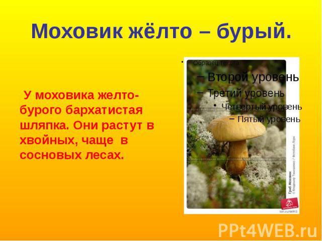 Моховик жёлто – бурый. У моховика желто-бурого бархатистая шляпка. Они растут в хвойных, чаще в сосновых лесах.