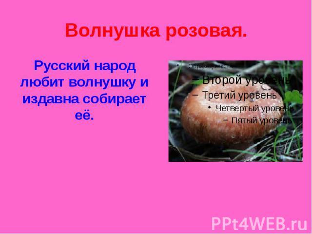 Волнушка розовая. Русский народ любит волнушку и издавна собирает её.