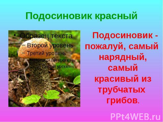 Подосиновик красный Подосиновик - пожалуй, самый нарядный, самый красивый из трубчатых грибов.